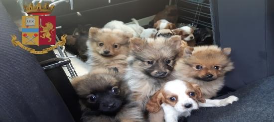 Cuccioli venduti illegalmente, nei guai donna di Cesenatico