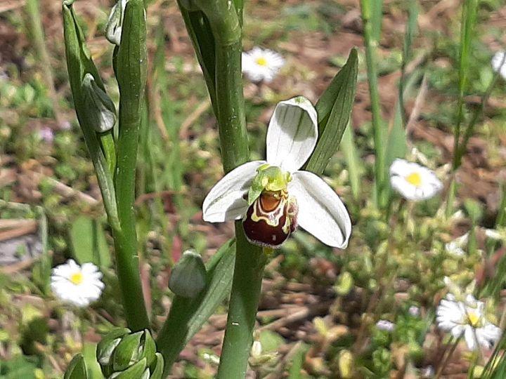 Nella Pineta di Zadina fiorite le prime orchidee selvatiche