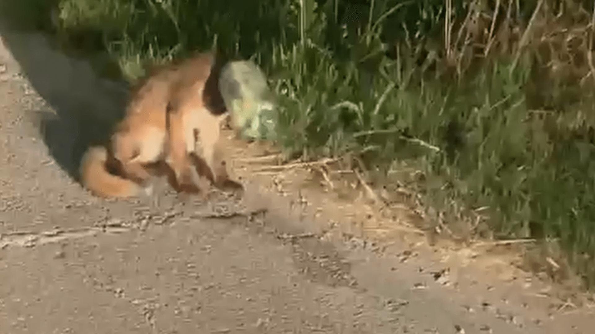 VIDEO Volpe intrappolata salvata da una passante