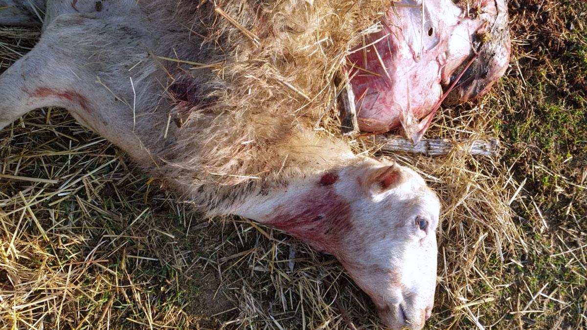 Pecore sbranate, avvistato un lupo a Sala di Cesenatico