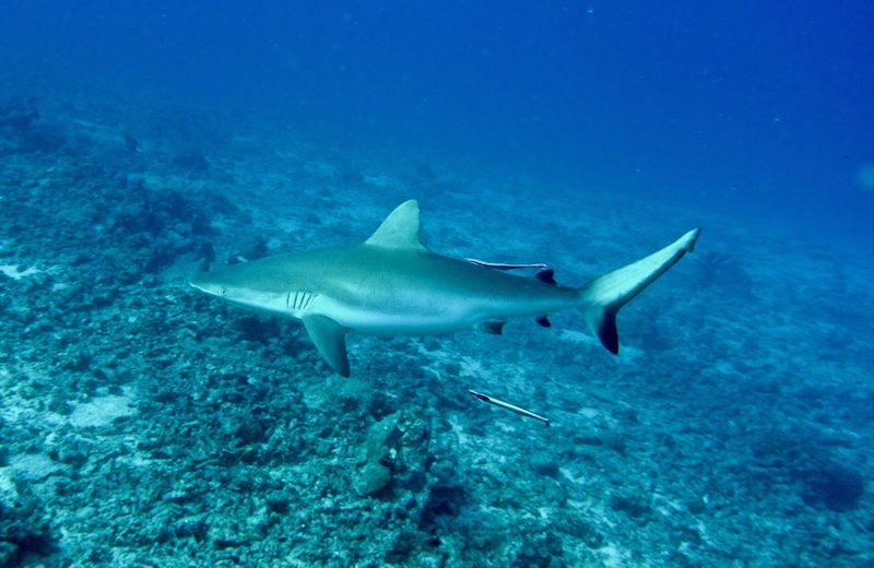 "Al largo di Cervia una ""nursery"" di squali grigi"